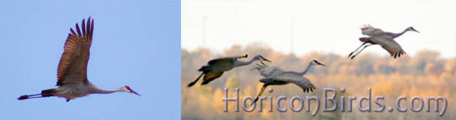 A few of the sandhills flying out of Horicon Marsh on 29 Oct. 2011, photo by Pam Rotella
