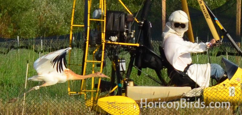 Whooping crane chick follows Joe Duff in his ultra-light aircraft, photo by Pam Rotella