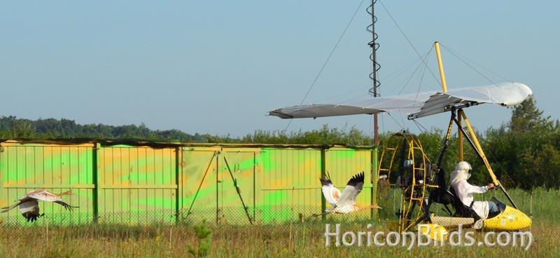 Whooping crane chicks follow Joe Duff in flight, photo by Pam Rotella