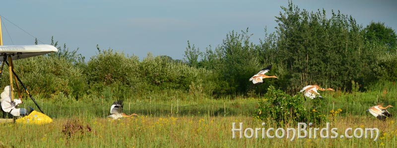 Whooping crane chicks lead the ultra-light in flight, photo by Pam Rotella