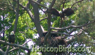 Norfolk Botanical Garden eagle pair in 2010, photo by Pam Rotella
