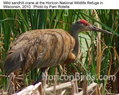 Wild sandhill crane at Horicon Marsh in 2010, photo by Pam Rotella