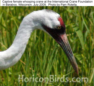 Whooping crane at ICF in 2009, photo by Pam Rotella