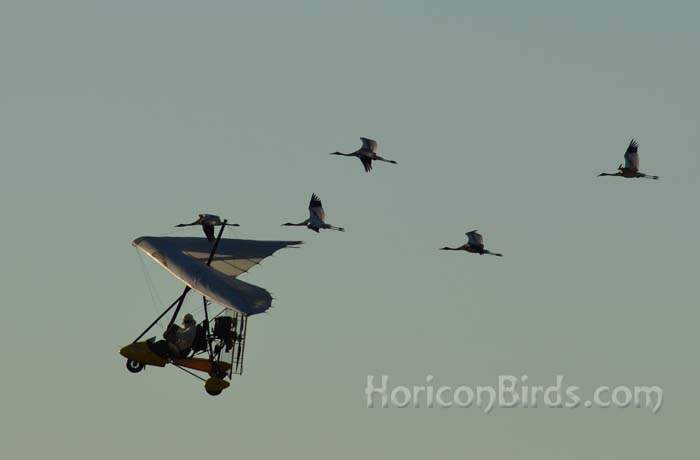Richard van Heuvelen leads whooping cranes through daily flight training, St. Marie, Wisconsin, 16 September 2013.  Photo by Pam Rotella