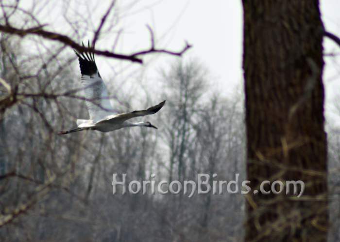 DAR Whooping crane Grasshopper flying at Horicon Marsh.  Photo by Pam Rotella