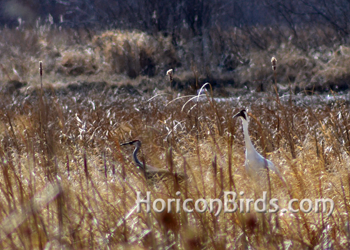 DAR Whooping crane Grasshopper and his sandhill crane companion in Horicon Marsh.  Photo by Pam Rotella
