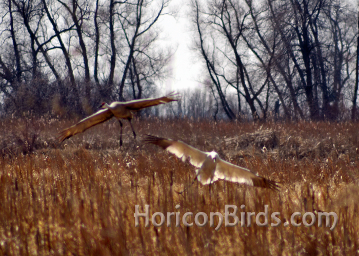 DAR Whooping crane known as Grasshopper lands in Horicon Marsh with sandhill crane companion.  Photo by Pam Rotella