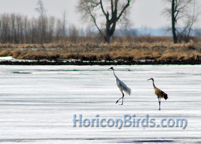 DAR Whooping and sandhill cranes walk on ice at Horicon Marsh.  Photo by Pam Rotella