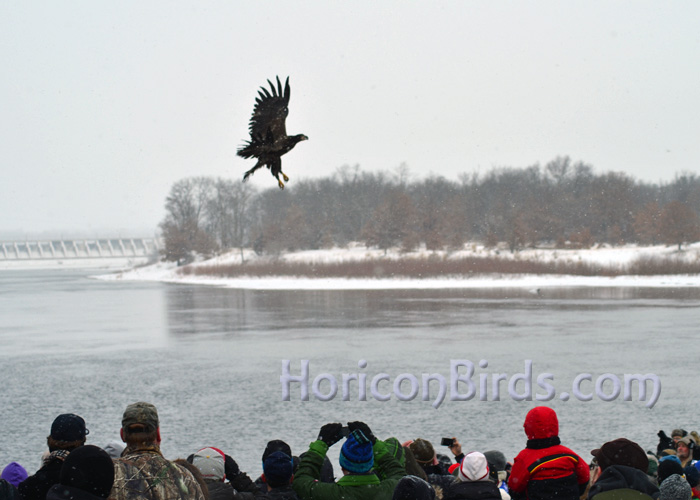 A rehabilitated eagle is released at V.F.W. Memorial Park, Prairie du Sac, Wisconsin, 18 January 2014.  Photo by Pam Rotella