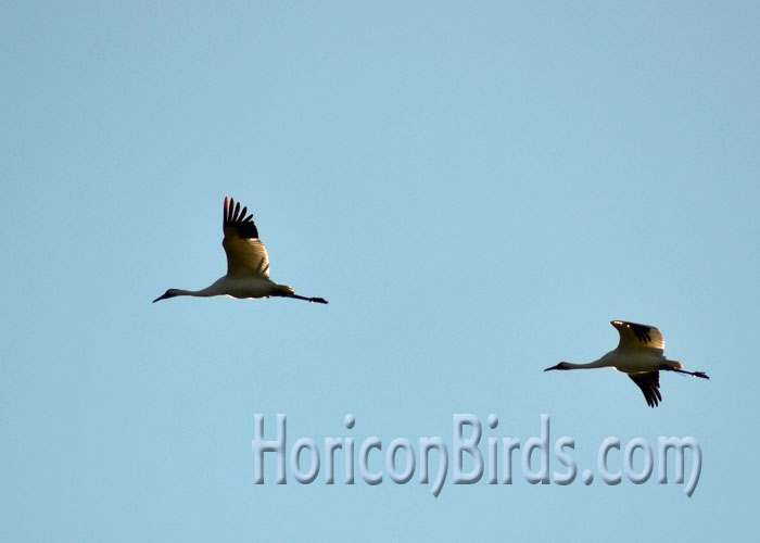 Young whooping cranes from the 2013 migration year, White River Marsh, Wisconsin.  Photo by Pam Rotella.