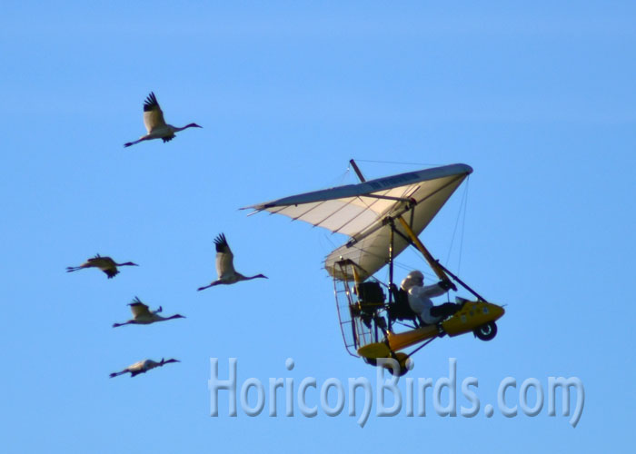 Operation Migration Pilot Joe Duff begins the 2014 guided whooping crane migration.  Photo by Pam Rotella.