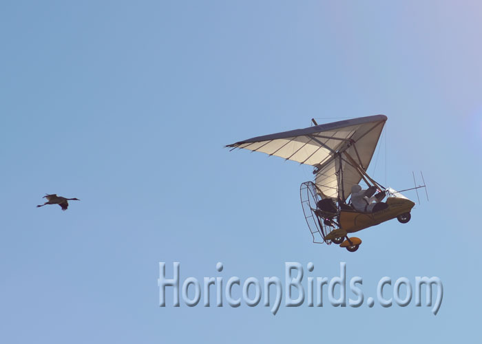 Richard Van Heuvelen leads one additional whooping crane at White River Marsh.  Photo by Pam Rotella.