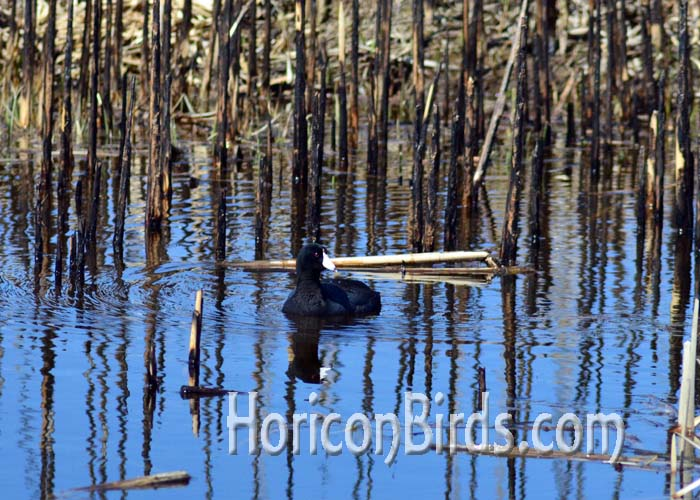 An AmericanCoot swims in an area previously burned at Horicon Marsh.  Photo by Pam Rotella