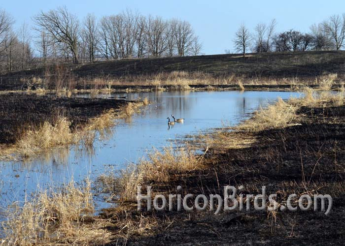 Canada Geese were swimming in the prescribed burn area later in the day.  Photo by Pam Rotella