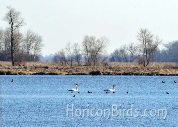 Trumpeter Swans swim near the burned area in Horicon Marsh, 18 April 2014.  Photo by Pam Rotella