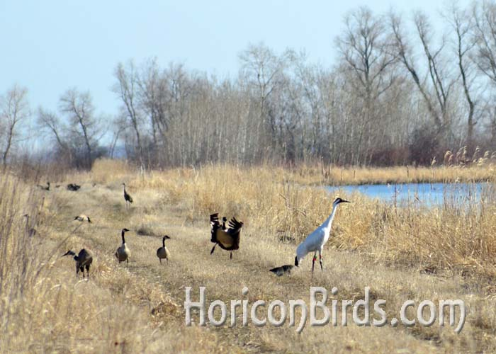 DAR whooping crane grasshopper and other birds near the burn area in Horicon Marsh, 18 April 2014.  Photo by Pam Rotella