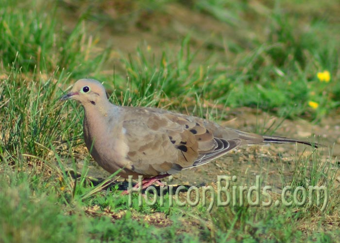Mourning dove color variety, Photo by Pam Rotella.