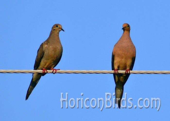 Mourning doves on a power line in Wisconsin, 24 August 2014.  Photo by Pam Rotella.