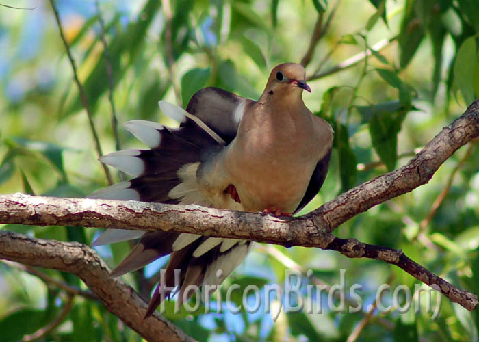 Mourning dove at Richard Bong State Recreation Area, Kenosha, Wisconsin.  Photo by Pam Rotella.