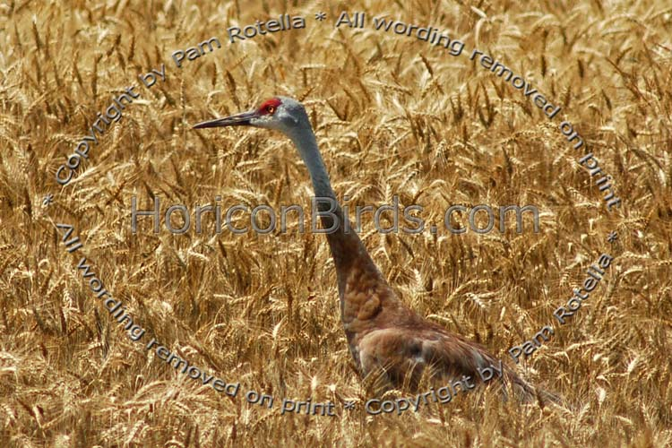 Sandhill Crane in wheat field, photo by Pam Rotella