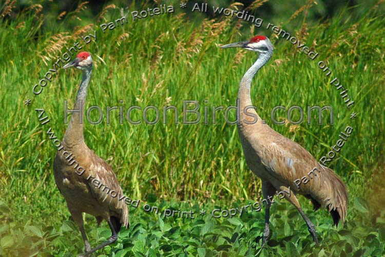 Sandhill Cranes walking in farm field, photo by Pam Rotella
