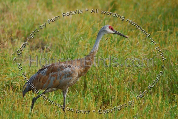 Sandhill Crane in Necedah National Wildlife Refuge, photo by Pam Rotella