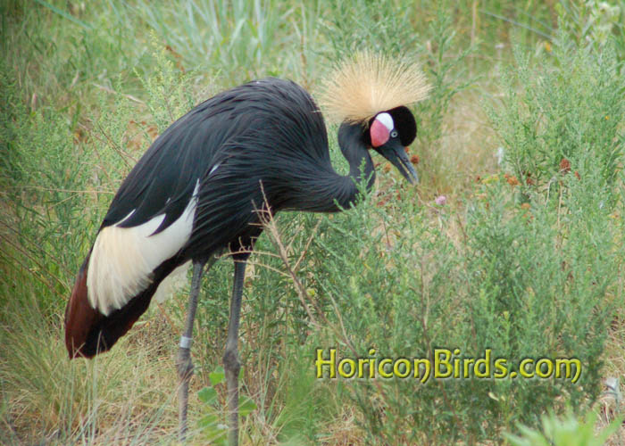 Grey Crowned Crane at ICF in Baraboo with Adobe auto-corrections, photo by Pam Rotella