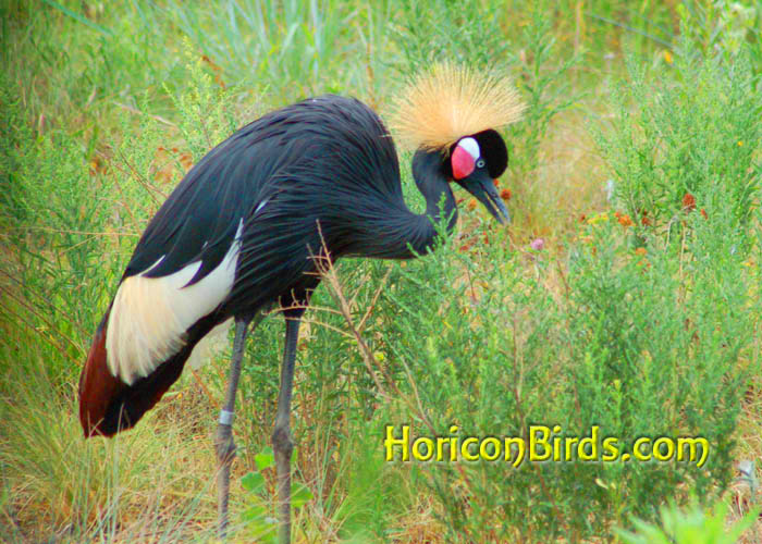 Grey Crowned Crane with increased saturation, photo by Pam Rotella