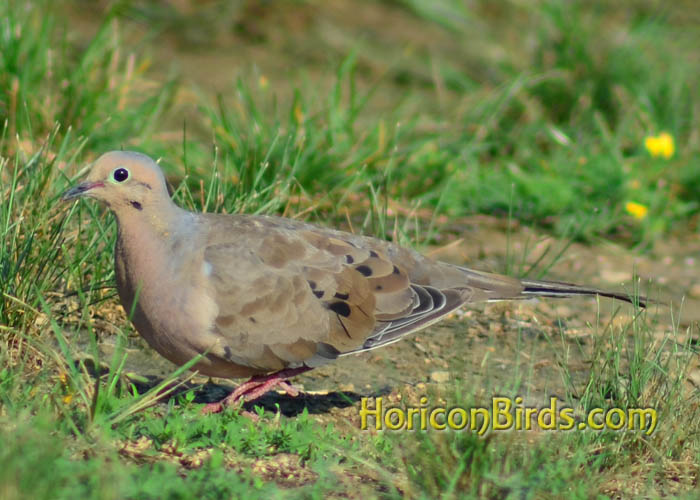 Mourning dove in Fort Wayne, Indiana, photo by Pam Rotella