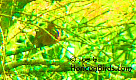 Passenger pigeon picture #1 by Joe G., with high saturation at highest level