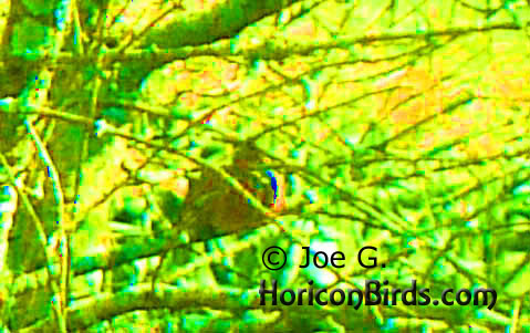Passenger pigeon picture #3 by Joe G., with maximum saturation to investigate color pixels