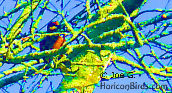 Passenger pigeon picture #4 by Joe G., with high saturation to boost colors