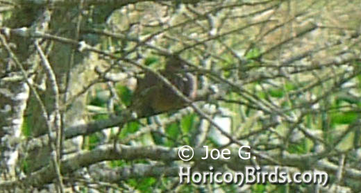 Passenger pigeon picture #6 by Joe G., enlarged without enhancements