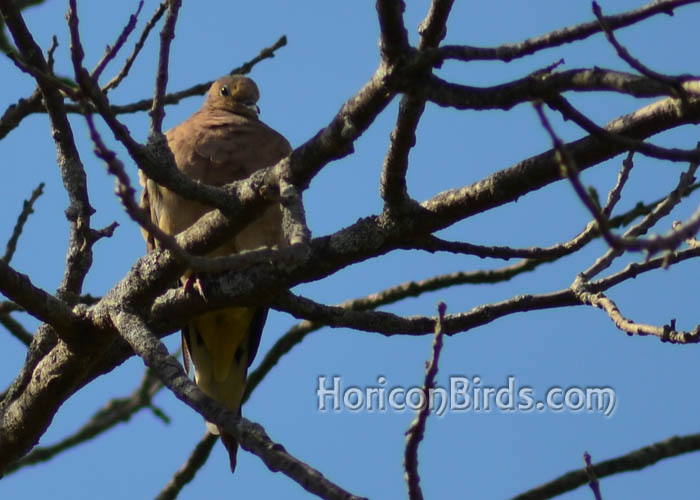 Mourning dove at White River Marsh, photo by Pam Rotella