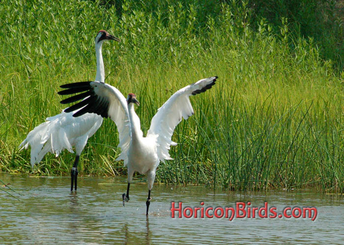 Whooping Cranes dancing at ICF in Baraboo, Wisconsin.  Photo by Pam Rotella