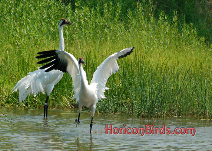 Whooping Cranes with Adobe enhancements, Wisconsin, photo by Pam Rotella