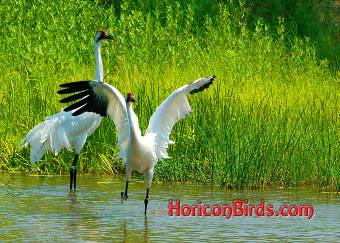 Saturation boosted in this photos of dancing Whooping Cranes at ICF, photo by Pam Rotella