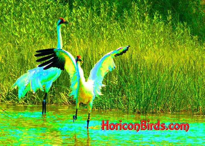 Whooping Cranes dancing at ICF in Baraboo, Wisconsin, photo by Pam Rotella